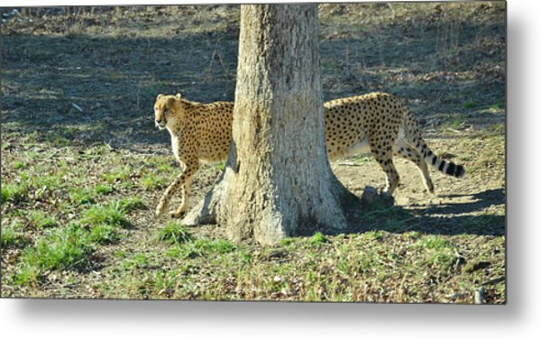 Cheetah Stretch Metal Print by Mike Shaw