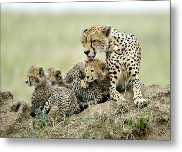 Cheetahs Metal Print by Giuseppe D\\\'amico