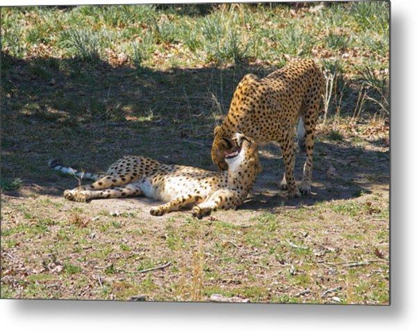 Cheetahs Playing Metal Print