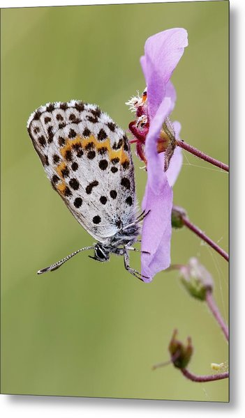 Chequered Blue Butterfly Metal Print