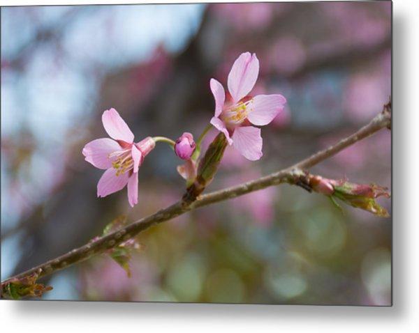 Cherry Blossom Against Green Background Metal Print by Priyanka Ravi