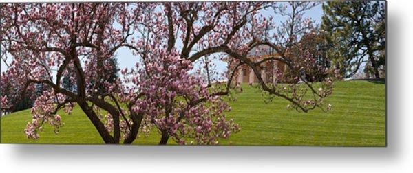 Cherry Blossom Trees At The Gravesite Metal Print