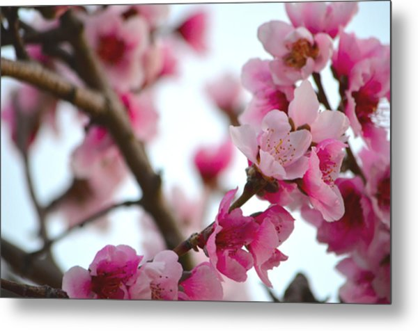 Cherry Blossoms 1 Metal Print