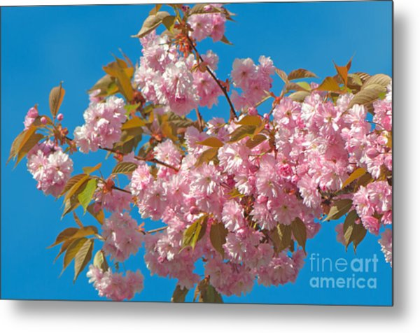 Cherry Blossoms 2 Metal Print by Sharon Talson