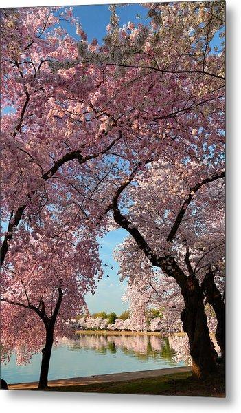 Cherry Blossoms 2013 - 024 Metal Print