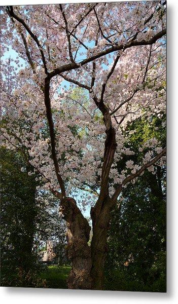 Cherry Blossoms 2013 - 056 Metal Print