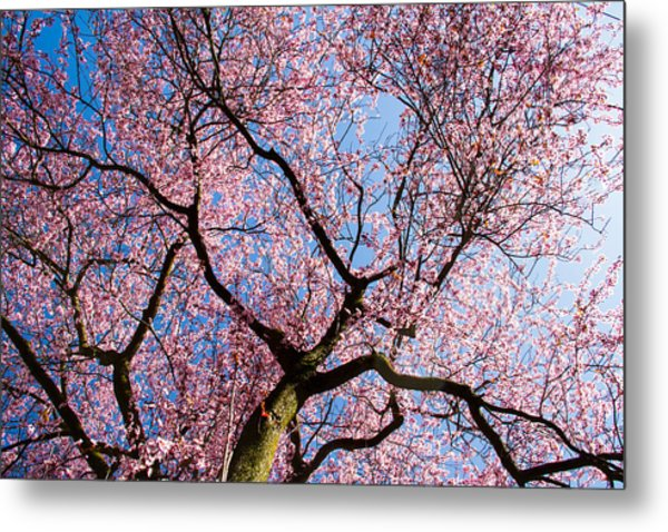 Cherry Blossoms All Over Metal Print