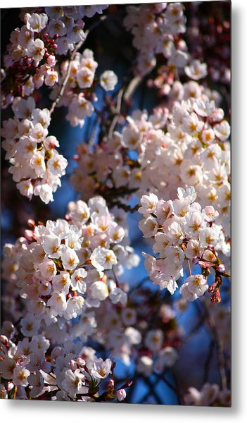 Cherry Blossoms And Blue Sky-2 Metal Print