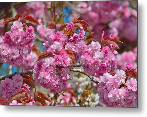 Cherry Blossoms Metal Print