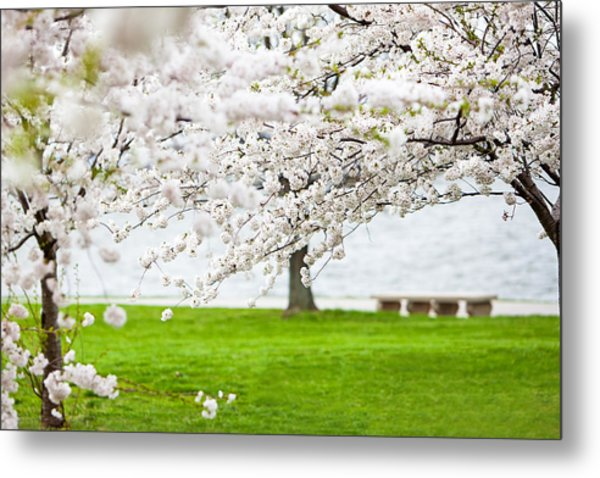 Cherry Blossoms On The Shore Of Fort Mchenry Metal Print