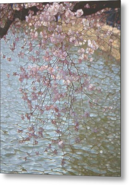 Cherry Blossoms P2 Metal Print