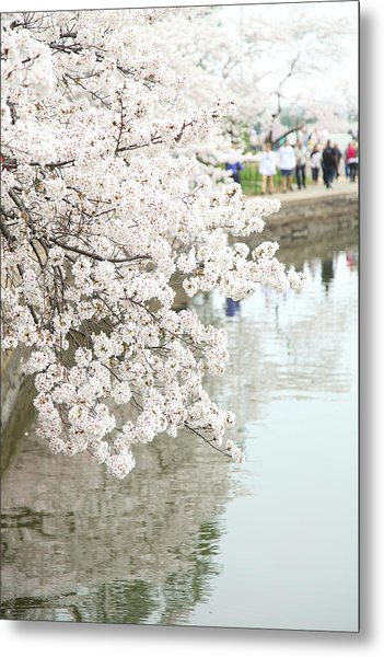 Cherry Blossoms - Washington Dc - 0113104 Metal Print by DC Photographer