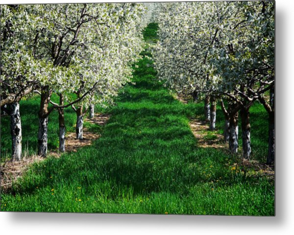 Metal Print featuring the photograph Cherry Orchard Morning by Mary Lee Dereske