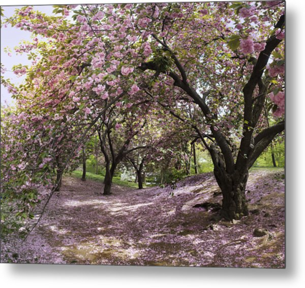 Metal Print featuring the photograph Cherry Tree Blossoms Pano by Dave Beckerman