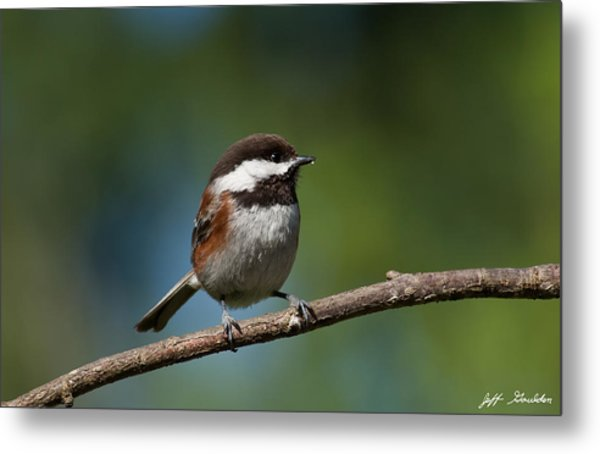 Chestnut Backed Chickadee Perched On A Branch Metal Print