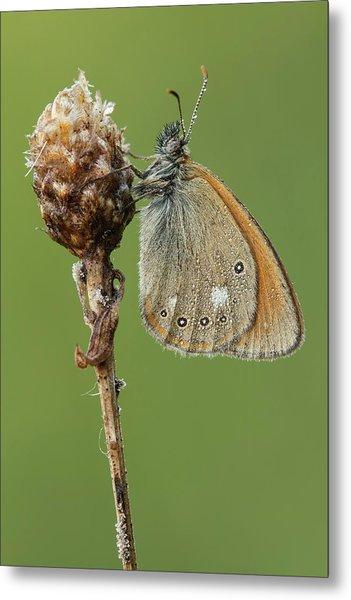 Chestnut Heath Butterfly Metal Print