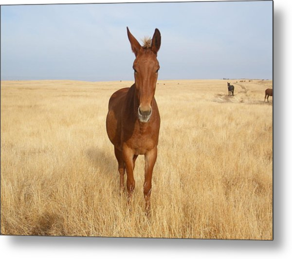 Chestnut Mule In Gold Metal Print