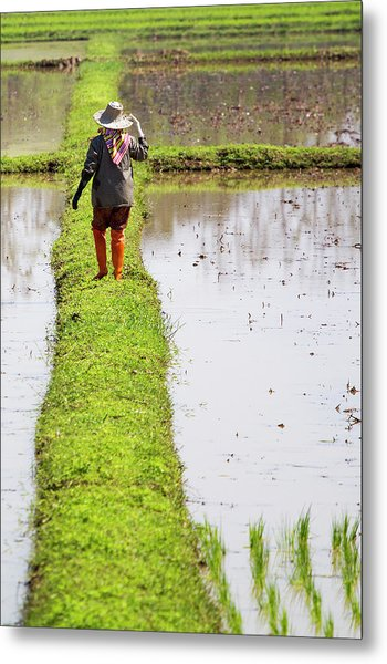 Chiangrai_farmer On A Rice Field Metal Print