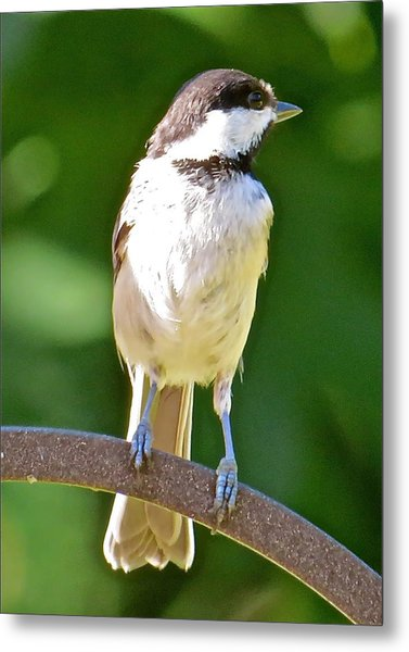 Chickadee 101 Metal Print by Patsy Pratt