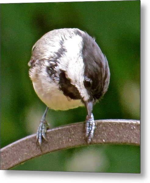 Chickadee 103 Metal Print by Patsy Pratt