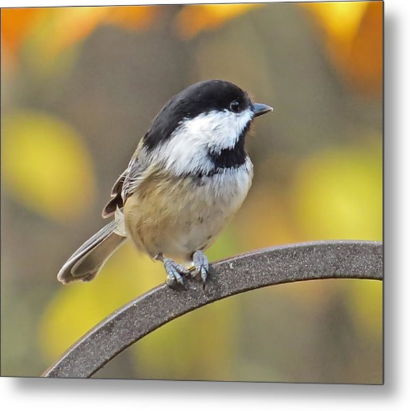 Chickadee 104 Metal Print by Patsy Pratt