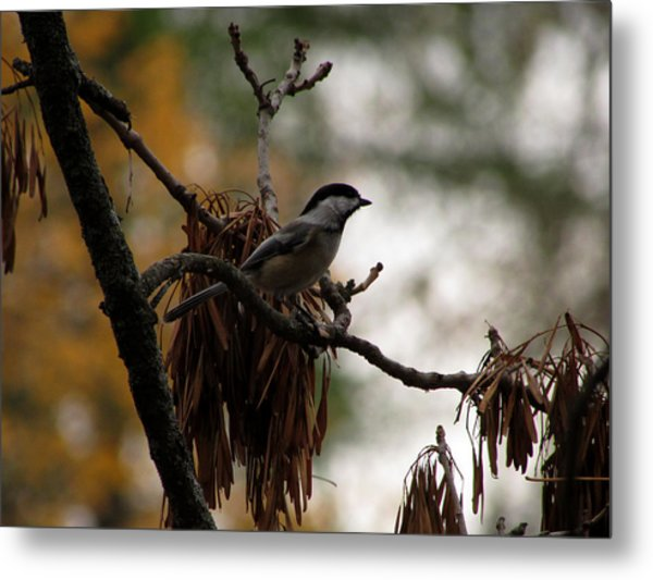 Chickadee In A Tree Metal Print