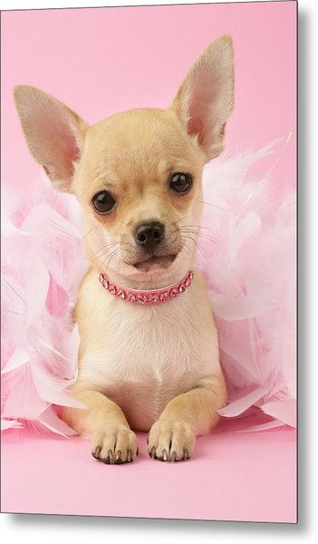 Chihuahua With Feather Boa Metal Print