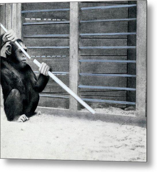Chimpanzee Problem Solving Research Metal Print