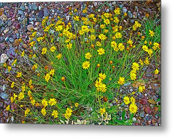 Chinchweed In Big Bend National Park-texas Metal Print