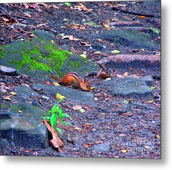 Chipmunk Scrounging Amoung The Rocks Metal Print by Matthew Peek