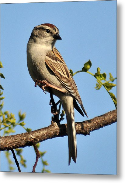 Chipping Sparrow 246 Metal Print