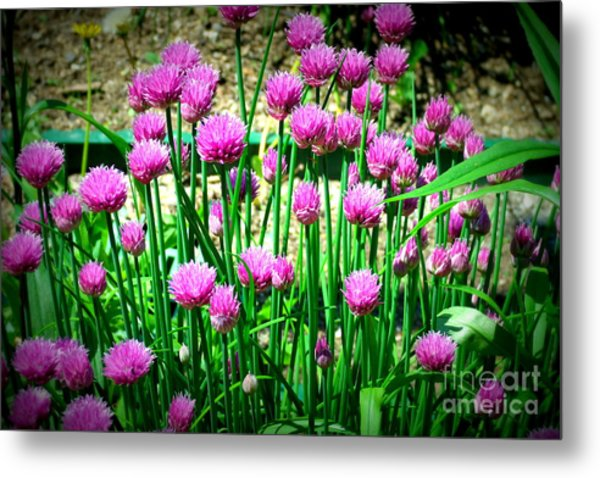 Chives Metal Print by Christy Beal