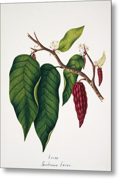 Chocolate Cocoa Plant Metal Print by Natural History Museum, London/science Photo Library