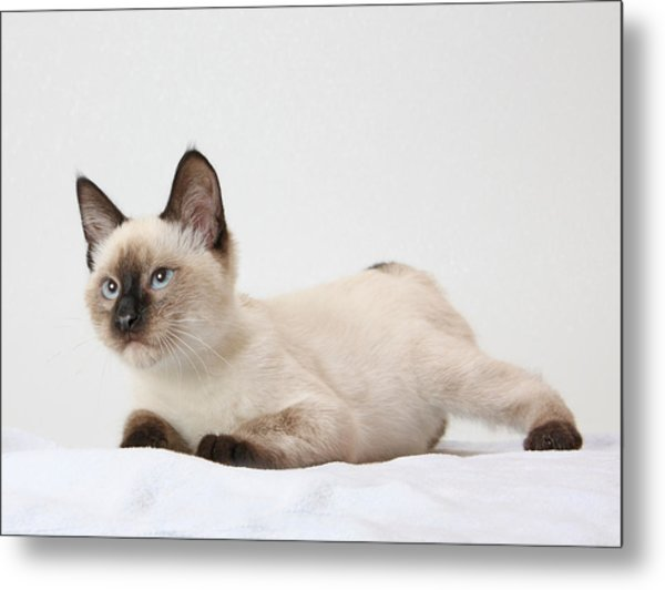 Chocolate Point Siamese Metal Print