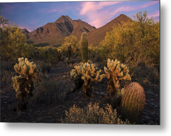 Cholla Cactus At Mcdowell Mountains Metal Print
