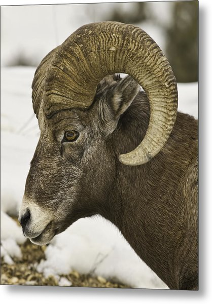 Christmas Big Horn Metal Print