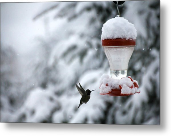Christmas Hummingbird Metal Print