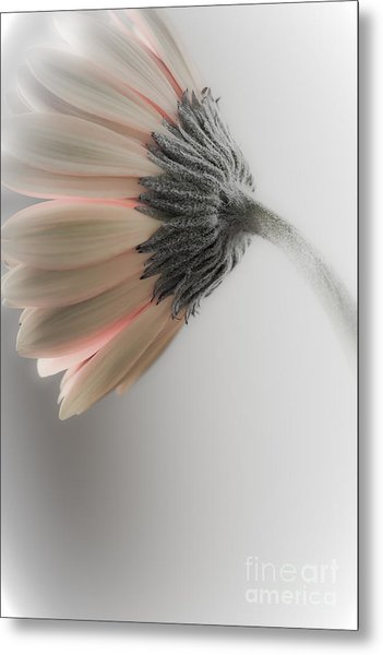 Chrysanthemum Petals 1 Metal Print