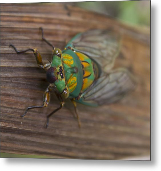 Green Whizzer Cicada Metal Print by Debbie Cundy