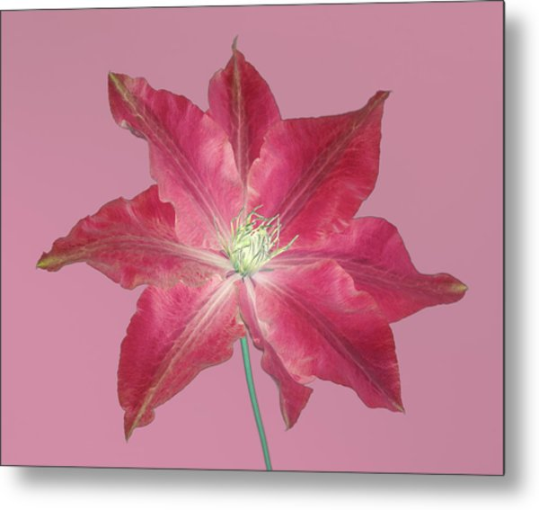 Clematis In Gentle Shades Of Red And Pink. Metal Print by Rosemary Calvert