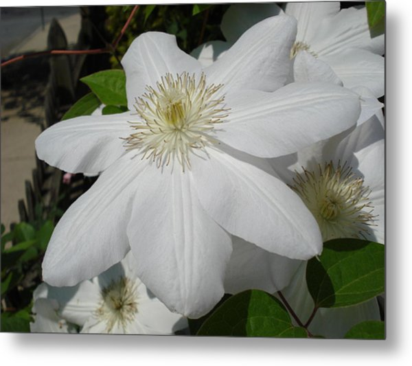 Clematis - Madame Le Coultre Metal Print