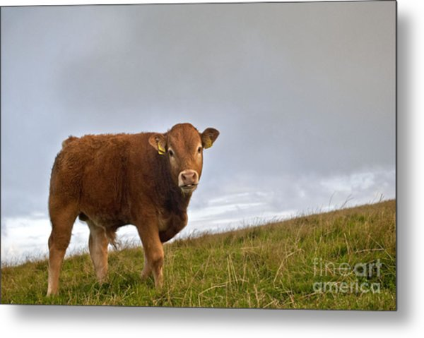Cliffs Of Moher Brown Cow Metal Print