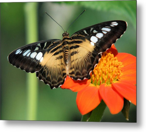 Clipper Butterfly On Flower Metal Print