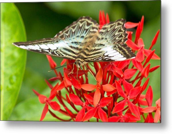 Clipper Butterfly Metal Print