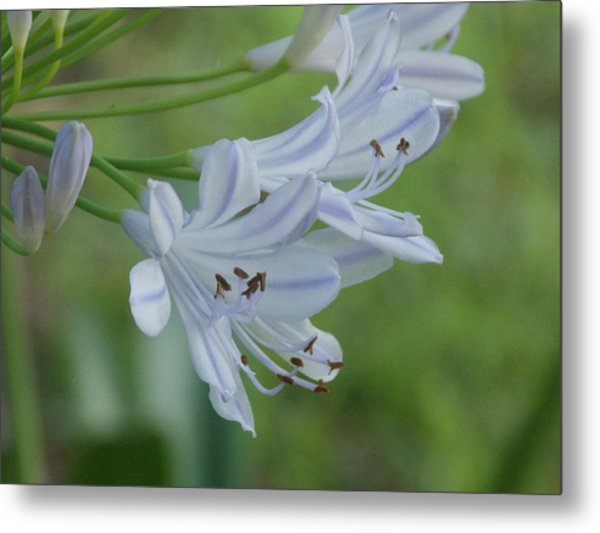 Close Up - African Lily Metal Print by Annette Allman