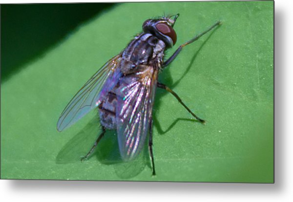 Close Up Fly Metal Print