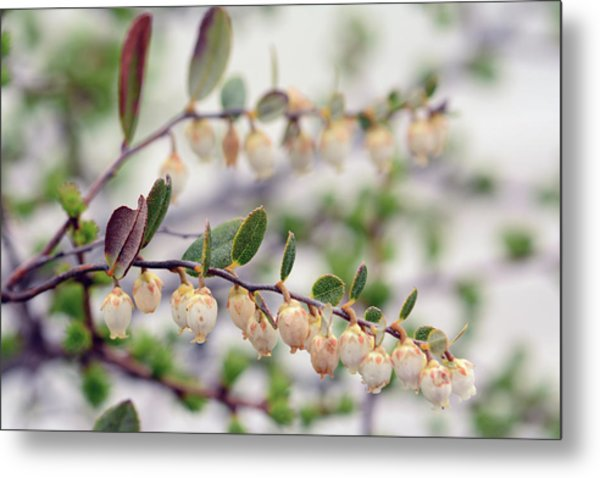 Close Up Of A Flowering Leatherleaf Metal Print