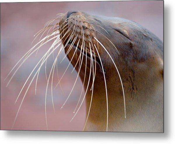 Close-up Of A Galapagos Sea Lion Metal Print