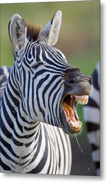 Close-up Of A Zebra Calling, Ngorongoro Metal Print