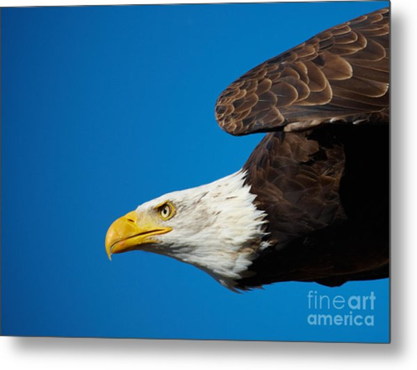 Close-up Of An American Bald Eagle In Flight Metal Print